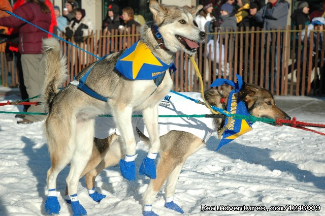 Iditarod Dogs - Iditarod Sled Dog Race Tours & Arctic Adventure