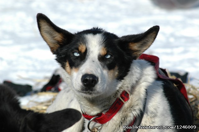 Alaskan Husky (#16 of 25) - Iditarod Sled Dog Race Tours & Arctic Adventure