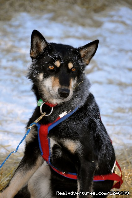 Canine Athletes of the Iditarod  - Iditarod Sled Dog Race Tours & Arctic Adventure