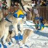 Iditarod Sled Dog Race Tours & Arctic Adventure Iditarod Dogs