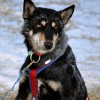 Canine Athletes of the Iditarod
