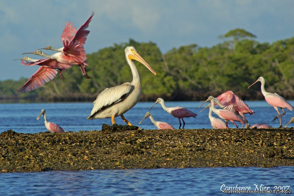 Roseate Spoonbills & White Pelican on Chokoloskee Bay | Image #8/12 | Everglades Nat'l Park - Boat Assisted Kayak Tour