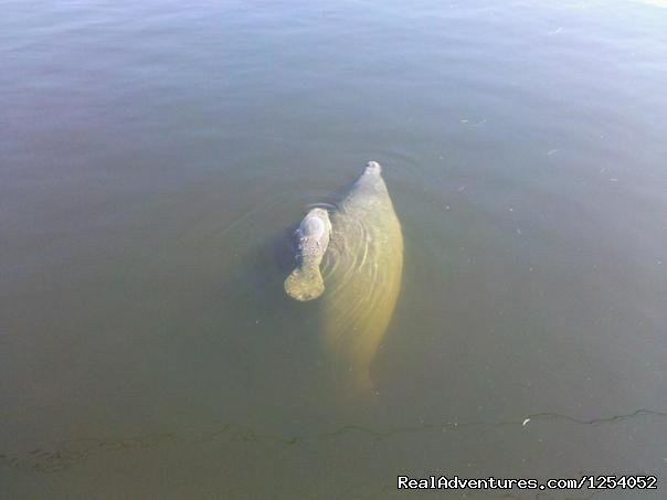 Mama Manatee and toddler | Image #12/12 | Everglades Nat'l Park - Boat Assisted Kayak Tour