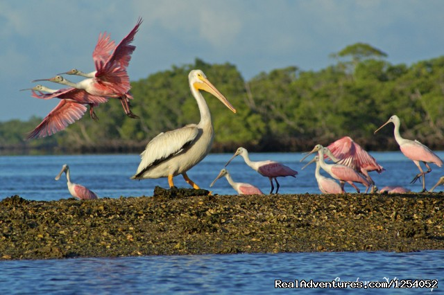 Roseate Spoonbills & White Pelican on Chokoloskee Bay (#8 of 14) - Everglades Nat'l Park - Boat Assisted Kayak Tour