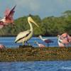 Roseate Spoonbills & White Pelican on Chokoloskee Bay
