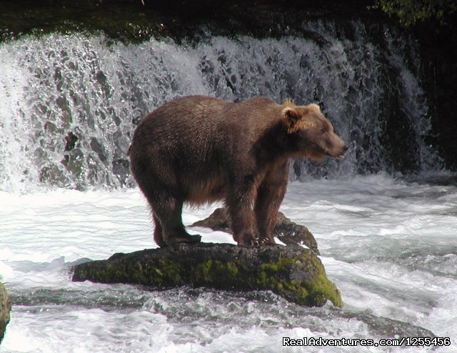 Coastal Brown Bears (#9 of 26) - Unique Lodging and Exciting Adventures in Alaska