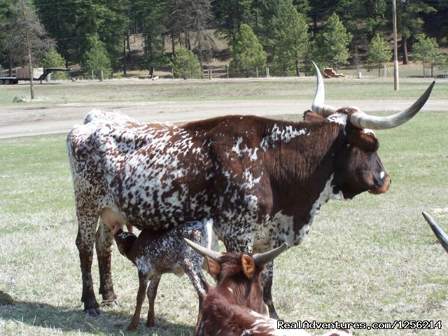 Texas longhorns with baby calf - K Diamond K Ranch