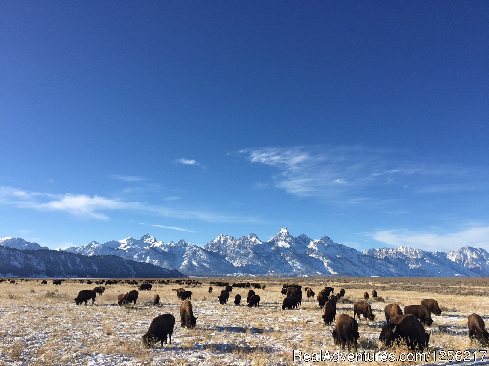 Bison Near the Ranch | Image #5/5 | Gros Ventre River Ranch