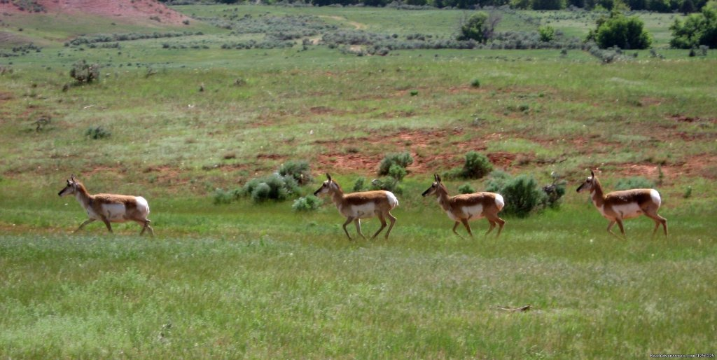 Antelope on the run ... | Image #3/24 | Incredible experience at Red Reflet Guest Ranch