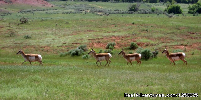 Antelope on the run ... - Incredible experience at Red Reflet Guest Ranch