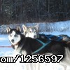Muddy Paw Sled Dog Kennel Rescue & Second Chance Sled Dogs - Muddy Paw Sled Dog Kennel & Raft NH