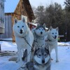Barking Brook Sled Dog Adventures llc Plymouth, New Hampshire Dog Sledding