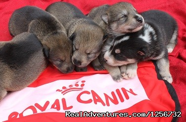 Puppies - Nature's Kennel Sled Dog Racing and Adventures