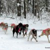 Lady Luck Kennel Fowler, Michigan Dog Sledding