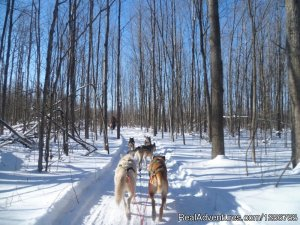 Ride a dogsled through a forest white with snow Dog Sledding Moonstone, Ontario