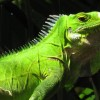 Riverside Lodge Iguanas