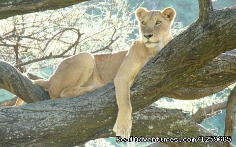 Tree lion - Africa Smart Safaris Limited