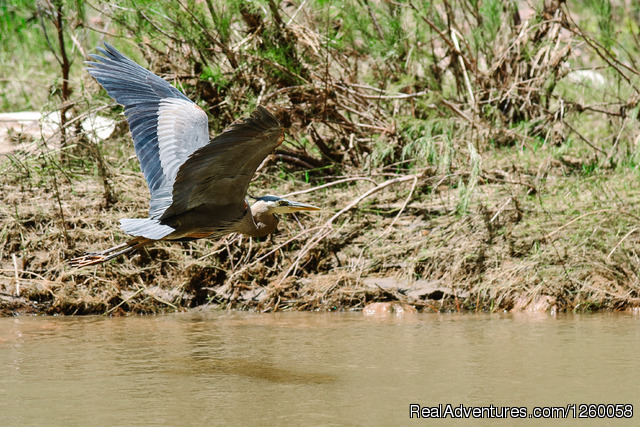 Great Blue Heron - Lodore Canyon Green River Rafting