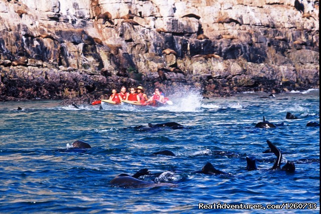 Dolphin Adventures Sea kayaking: Kayaking with seal at Robberg