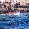 Dolphin Adventures Sea kayaking Kayaking with seal at Robberg