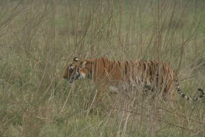 Tiger Safaris Gurgaon Haryana, India Wildlife & Safari Tours