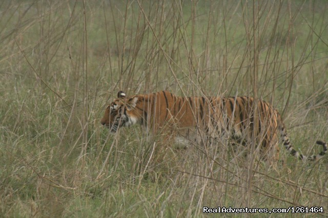 Queen of the Forest - Tiger Safaris