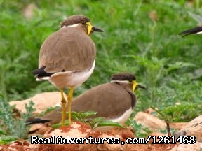 Yellow Wattle Lapwing - Birding At Tal Chapper