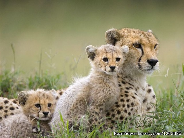 Affordable Masai Mara,Amboseli & Serengeti Package: Cheetahs relaxing in the Wild