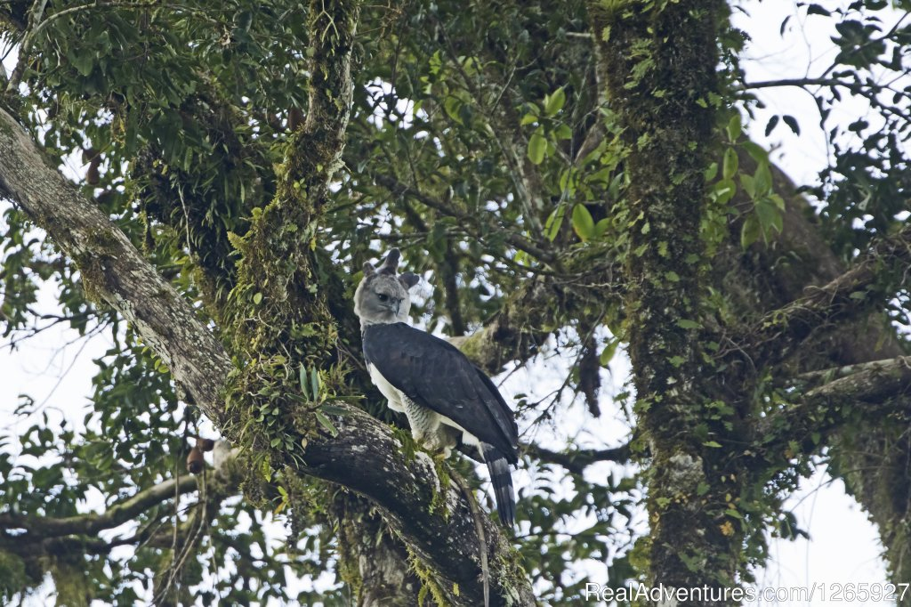 Suriname a birdwatchers paradise, the Harpy Eagle a must see | Image #6/8 | Suriname, a melting pot of cultures and heritage