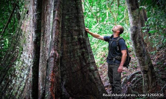 Ancient tree in Indonesia - Orangutan Adventure In North Sumatra