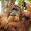 Orangutan Adventure In North Sumatra , Indonesia Sight-Seeing Tours