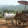 Tradition Oxcart In Thailand