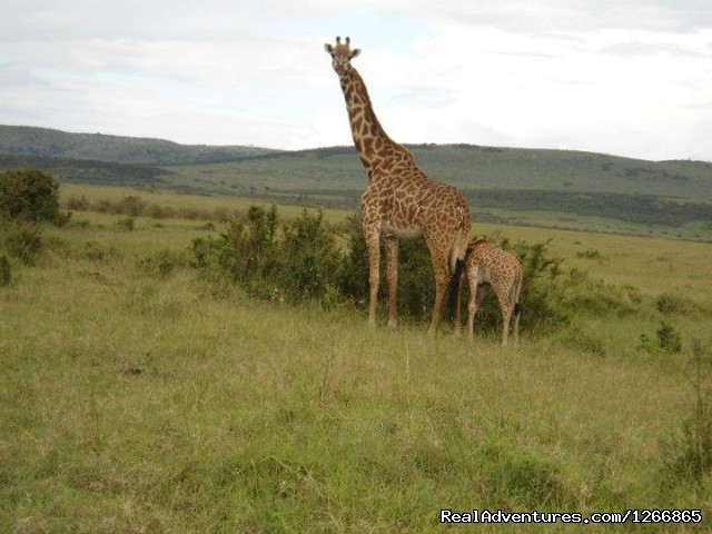 Image #1 of 12 - Safari in kenya, tanzania , Uganda, indian ocean