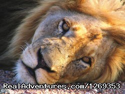 Kruger Park Safaris: Lion