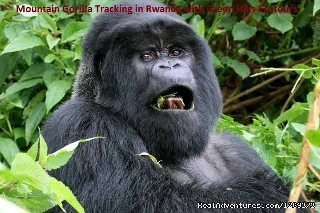 Rwanda Congo-nile Trekking,gorilla Trek In Rwanda: Mountain Gorilla Trekking