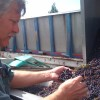Winemaker Rob Griffin sorts grapes during CRUSH