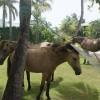 Vieques wild Pasofino horses
