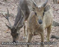 Komodo Adventure Trip and Animal Wildlife Tours: Timor Deer on Komodo National Park
