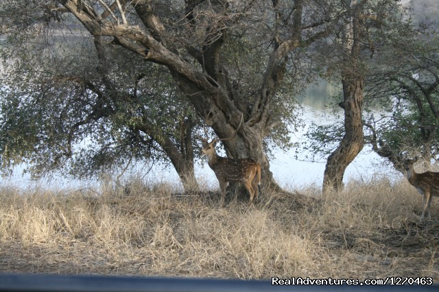Sambur Deer - Ranthambore Adventure Tour