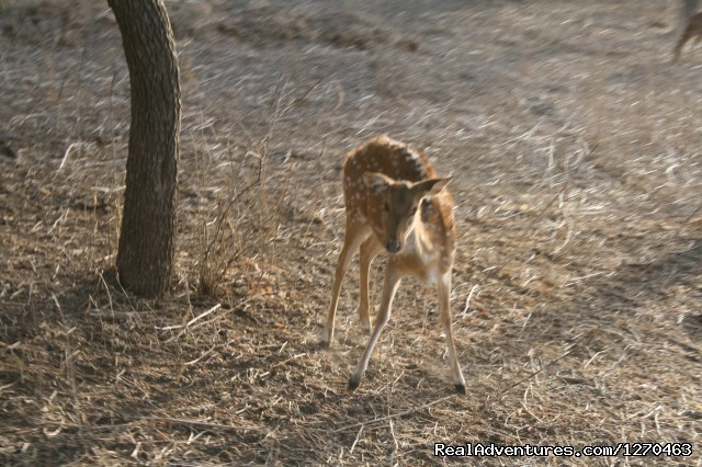 Spotted Deer - Ranthambore Adventure Tour