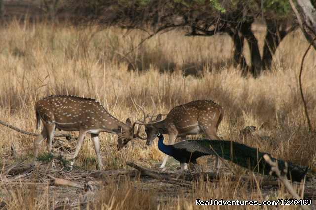 Spotted Deers - Ranthambore Adventure Tour