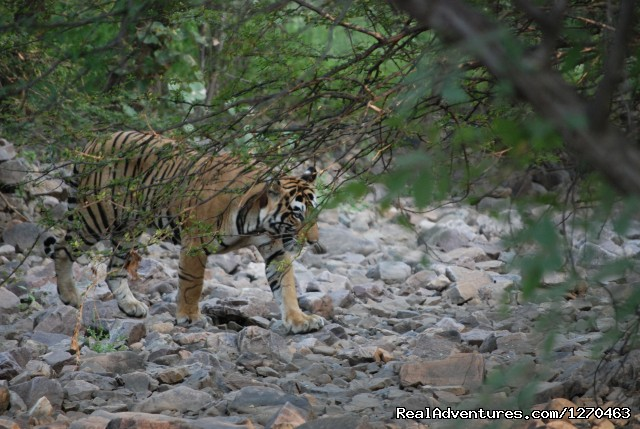 Tiger - Ranthambore Adventure Tour