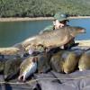 Fishing Barbel Comizo