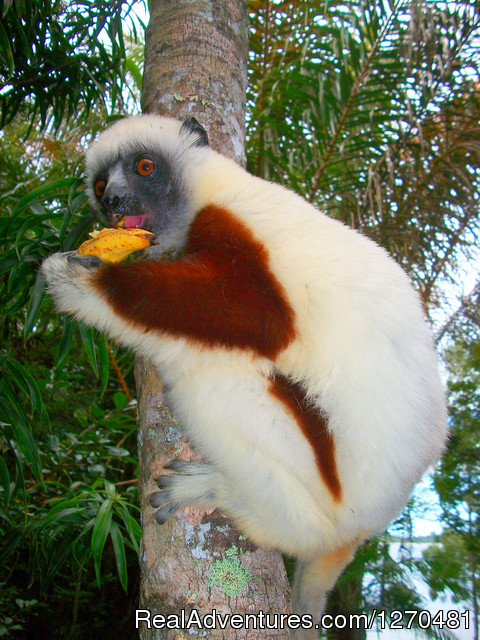 Discovery Tour of MADAGASCAR: Sifaka Lemurs of Madagascar