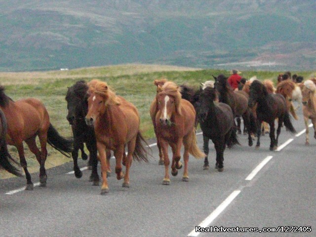 Icelandic Horses - Cycling South Iceland - Freewheeling Adventures