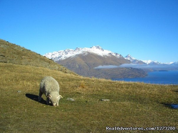 Typical Kiwi Postcard, a merino sheep near Queenstown | Image #19/19 | Self Drive and Guided New Zealand Tours