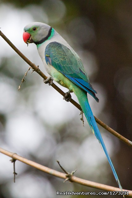 Malabar Parakeet (#2 of 15) - Wildlife & Birding Adventures