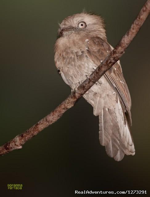 Elsusive - Ceylon Frogmouth (#5 of 15) - Wildlife & Birding Adventures