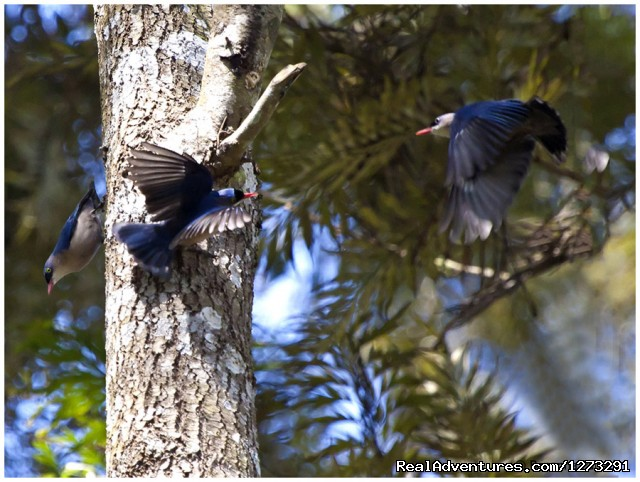 Velvet Fronted Nuthatches