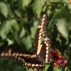 Pretty Butterfly at Oleander Acres Resort